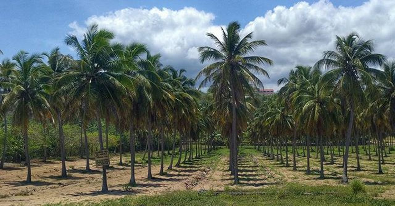 palm tree, tree, agriculture, cloud - sky, sky, no people, large group of objects, sand, outdoors, growth, grass, day, nature, irrigation equipment