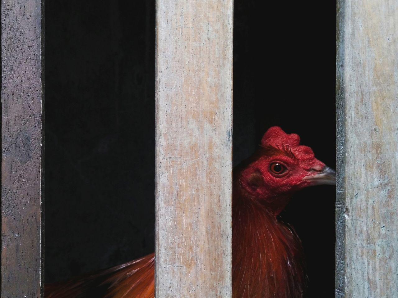Window Red Peeking Chicken - Bird Bird No People Animal Themes Domestic Animals Built Structure Livestock One Animal Cage Close-up Indoors  Rooster Looking Around Day