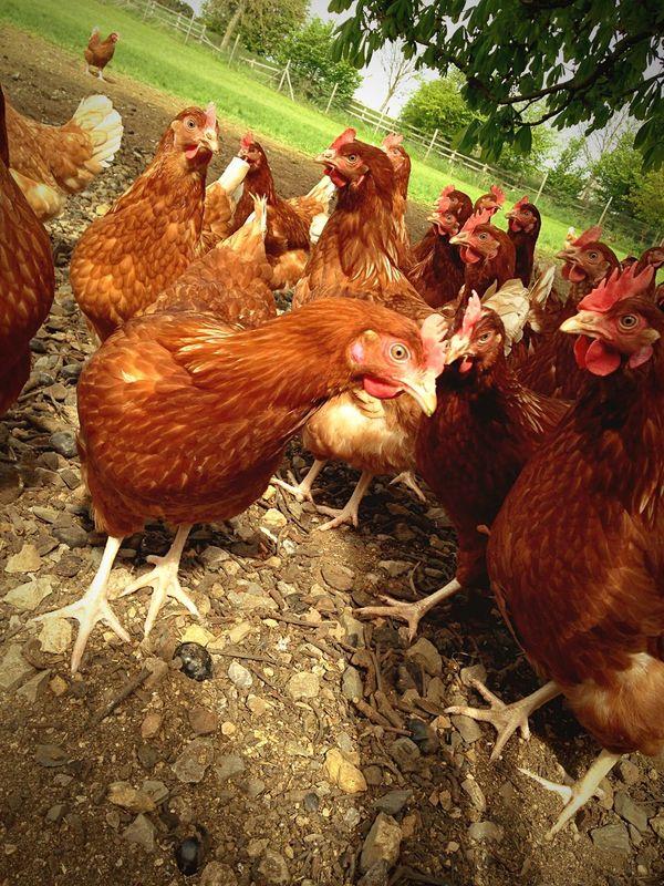 Farm Life Chicken