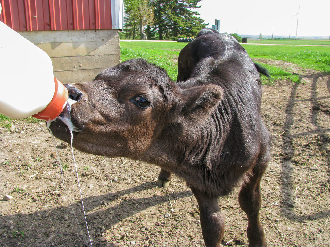 Agriculture Animal Black Black Angus Calf Canonphotography Cattle Domestic Animals Drinking Eating Farm Livestock Milk Milk Bottle Outdoors Standing Young Animal