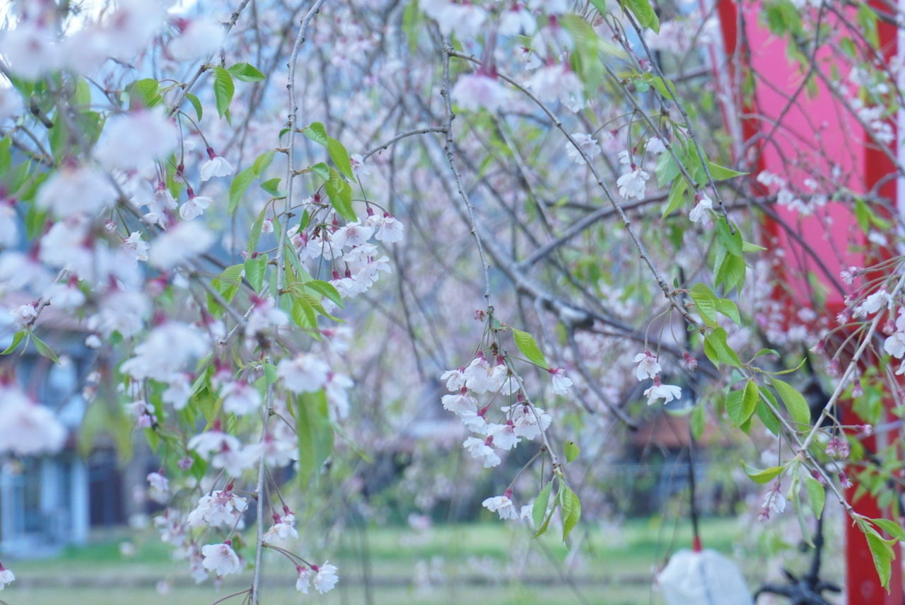 tree, flower, growth, fragility, nature, branch, blossom, beauty in nature, day, springtime, no people, freshness, white color, botany, petal, outdoors, blooming, plant, close-up, flower head