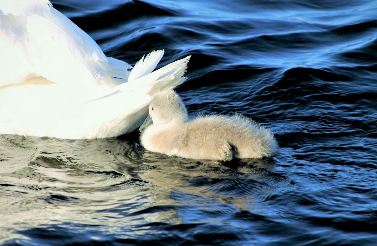 Littleswan Animal_collection Swimming Animal Themes Nature Photography Norwaynature Water Beauty In Nature Eyem Gallery Cisne Cute Floating On Water Blue Oslo Fjord Outdoors Nature Swan Day