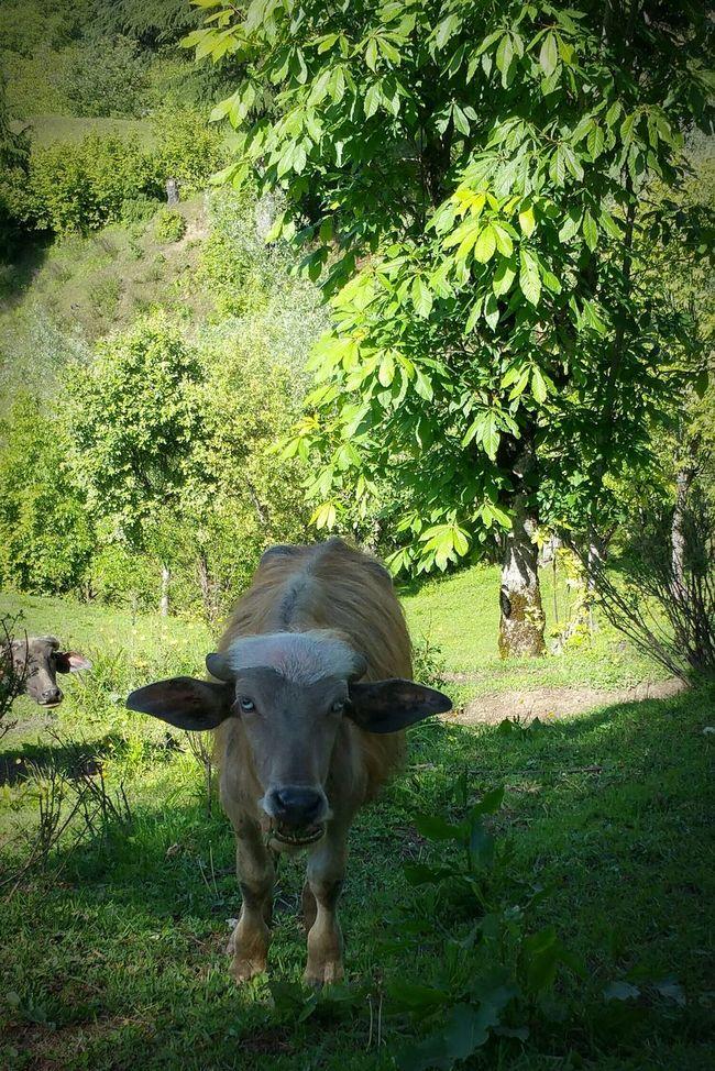 Buffalo Baby Buffalo Calf Buffalo Haftrada Handwara Kupwara Kashmir Domestic Animal Nature Getting In Touch
