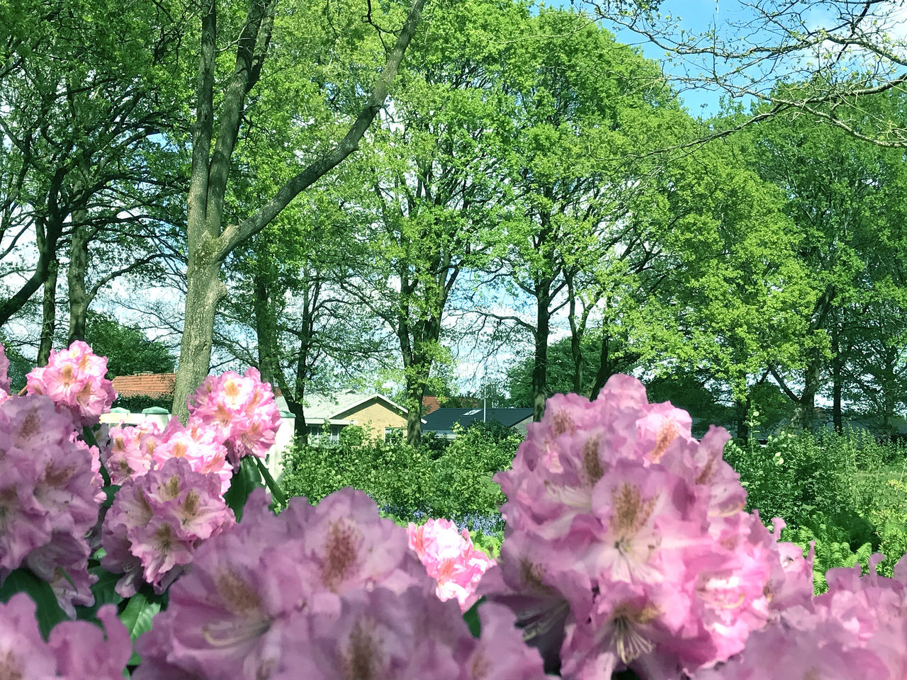 Flowers in the city park under spring Beauty Beauty In Nature Blossom Blue City Colorful Day Floral Flower Flowers Grass Green Growth Leafs Nature No People Park Pink Color Plant Plant Rhododendron Season  Spring Summer Tree
