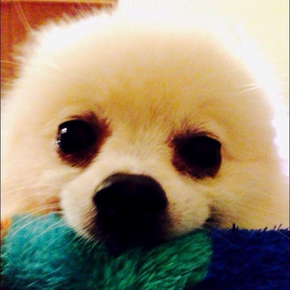 Dog I Love My Dog Pomeranian Korosuke