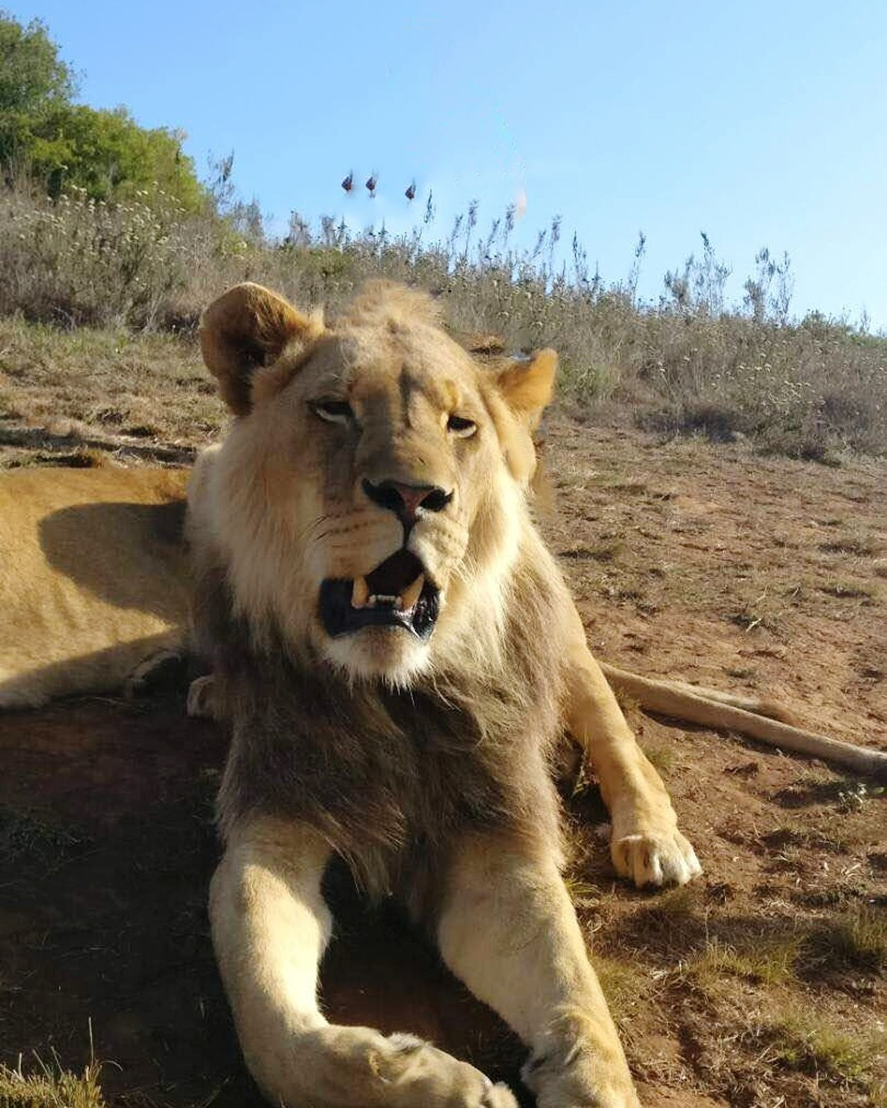 Animals In The Wild One Animal Mammal Animal Wildlife Animal Lion - Feline Animal Themes Outdoors Day No People Nature Portrait Sky Close-up Sunlight Lioness Grass EyeEmNewHere Travel Destinations Lions Lion Lion King  Outdoor Photography Nature Animals In The Wild