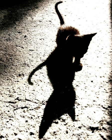 Shadow Silhouette Focus On Shadow Mammal Cat♡ Kitten 🐱 I Am New Here.