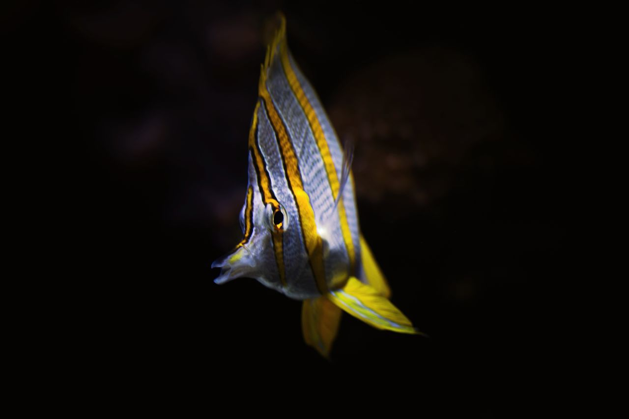 Yellow One Animal Black Background No People Animal Wildlife Animal Nature Animal Themes Close-up Sea Life Outdoors UnderSea Day Animals In The Wild Underwater UnderSea SCUBA Scuba Diving Scubadiving Underwater World Underwater Photography Underwaterphotography Wildlife & Nature Black Background Fish