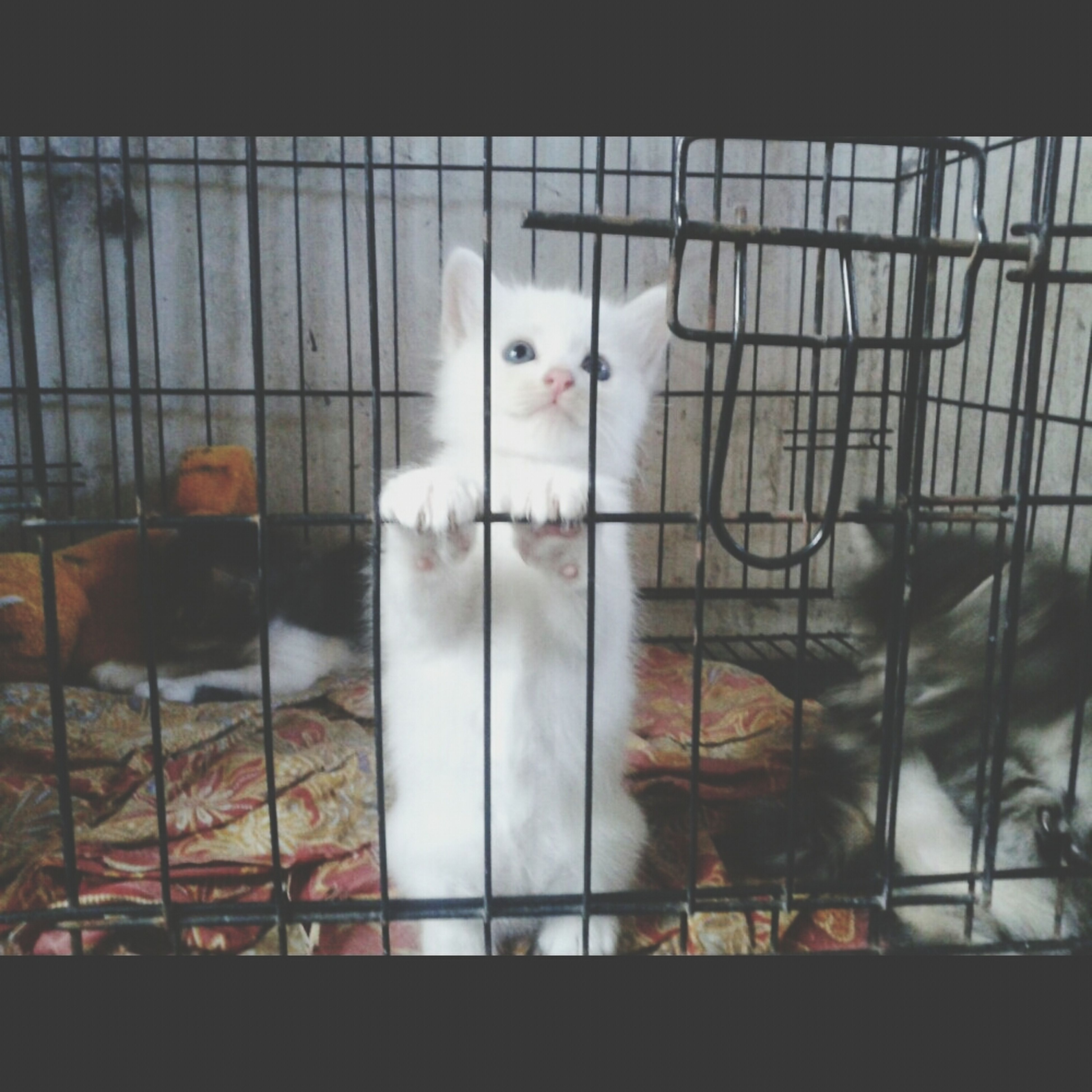 animal themes, domestic animals, pets, domestic cat, cat, one animal, indoors, mammal, feline, window, cage, two animals, relaxation, portrait, zoology, white color, looking at camera, whisker, no people, close-up
