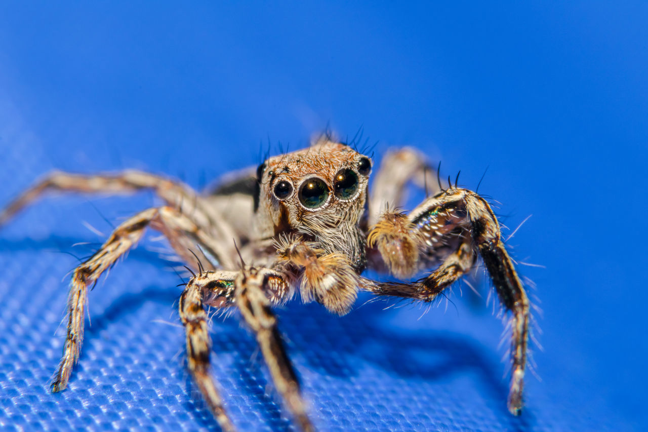 macro spider (soft focus) Animal Animal Body Part Animal Eye Animal Head  Animal Markings Animal Themes Animal Wildlife Beauty In Nature Blue Close-up Day Focus On Foreground Mammal Nature No People Outdoors Selective Focus Wildlife