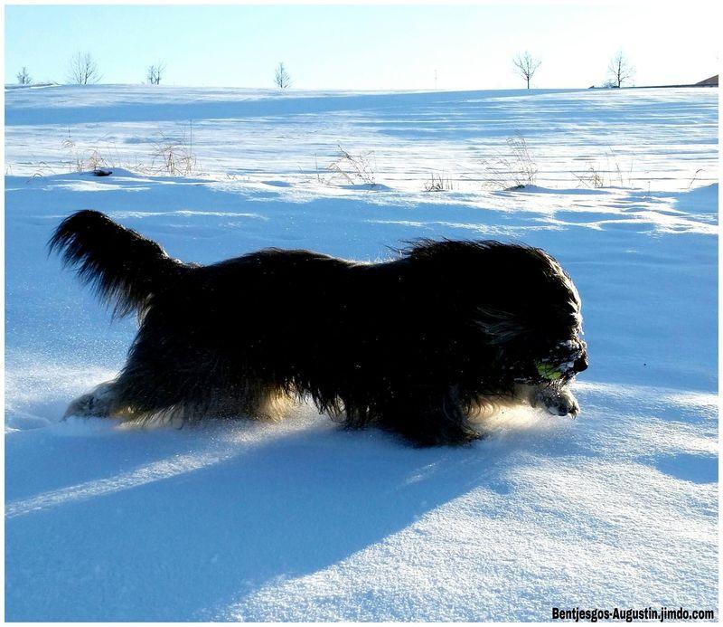 Bentjesgosaugustin Gos D'atura Ilovemydog Mydog I Love My Dog Dog Walking in the snow