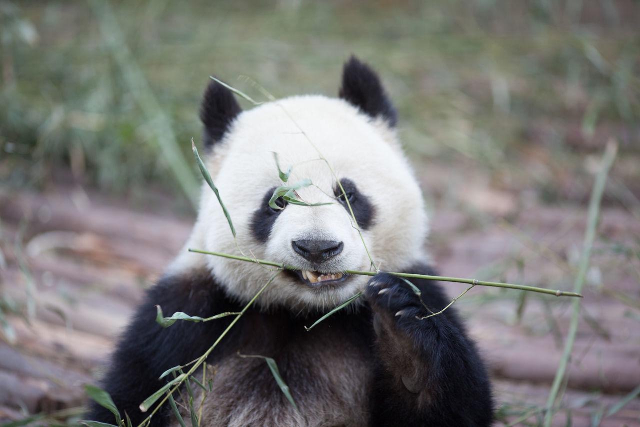 Beautiful stock photos of panda, Animal Behavior, Animal Hair, Animal Themes, Animals In The Wild