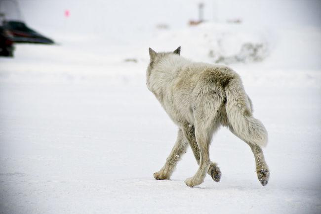 Animal Arctic Canada Ice Mammal Nature Nature_collection North Pole Nunavut Polar  Polar Wolf Snow Wolf Zoology