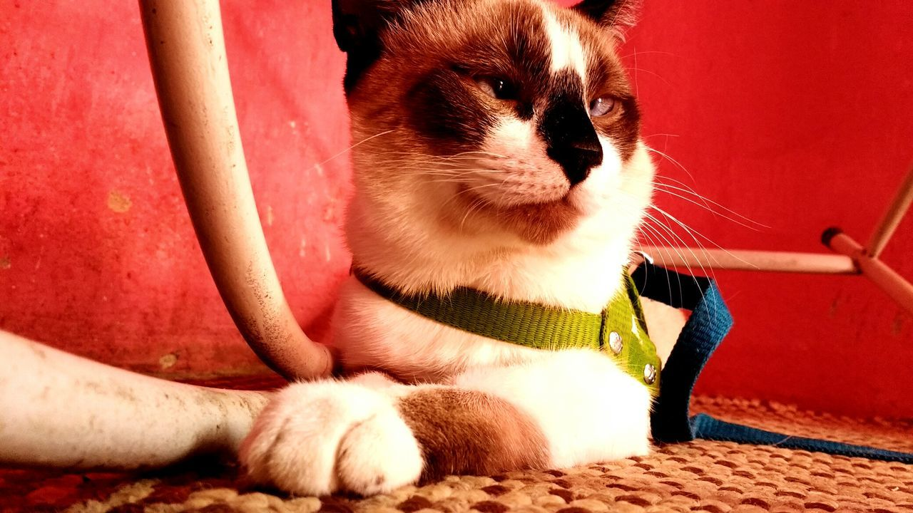Cat Looking Away While Sitting On Rug Against Red Wall
