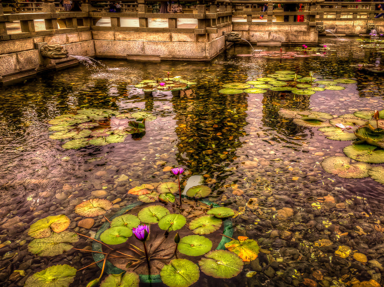 Iphonephotography Hdrphotography Tonemapping Nature Photography Flower Photography HDR Park Water Lillies