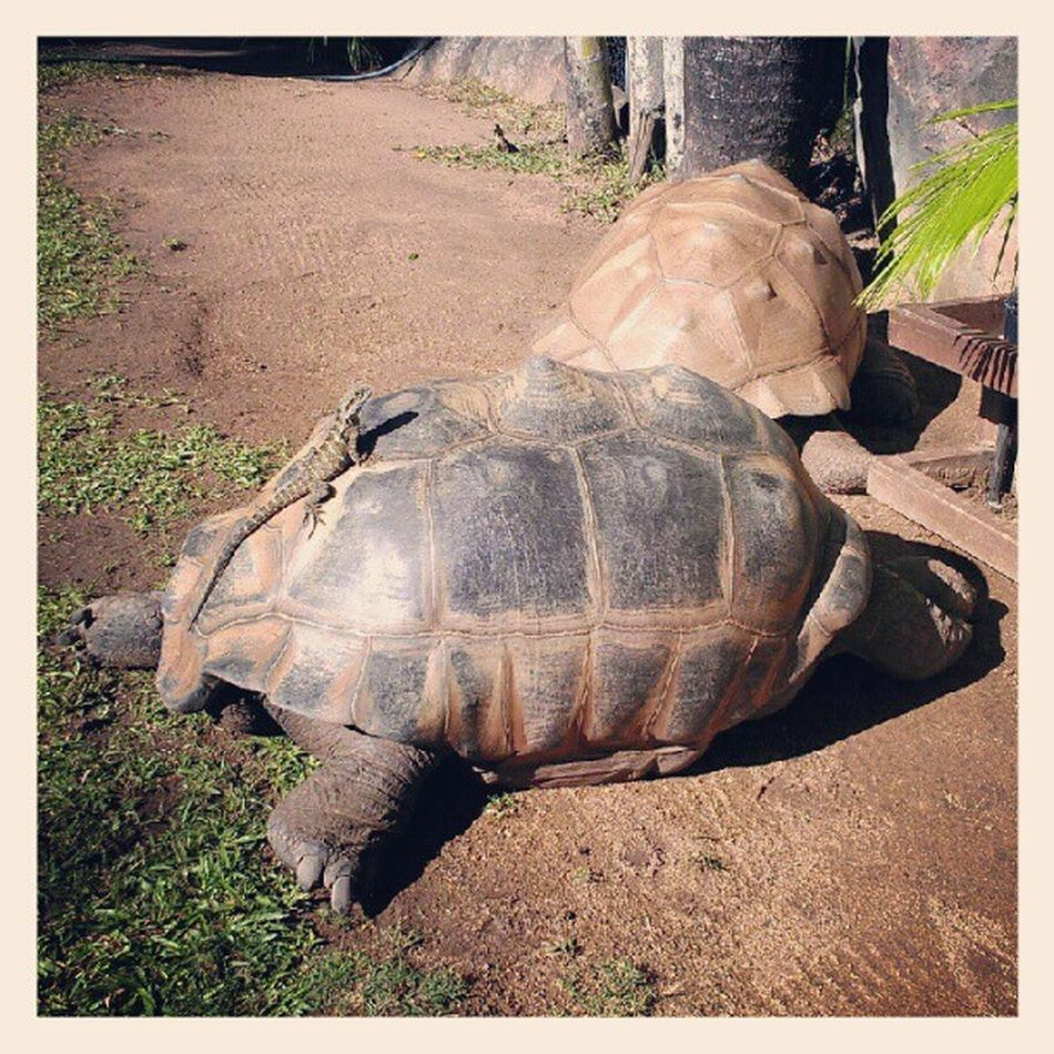 Passed out tortoise with a dragon on his back Sizedoesntmatter Passedout Chasingthedragonfail