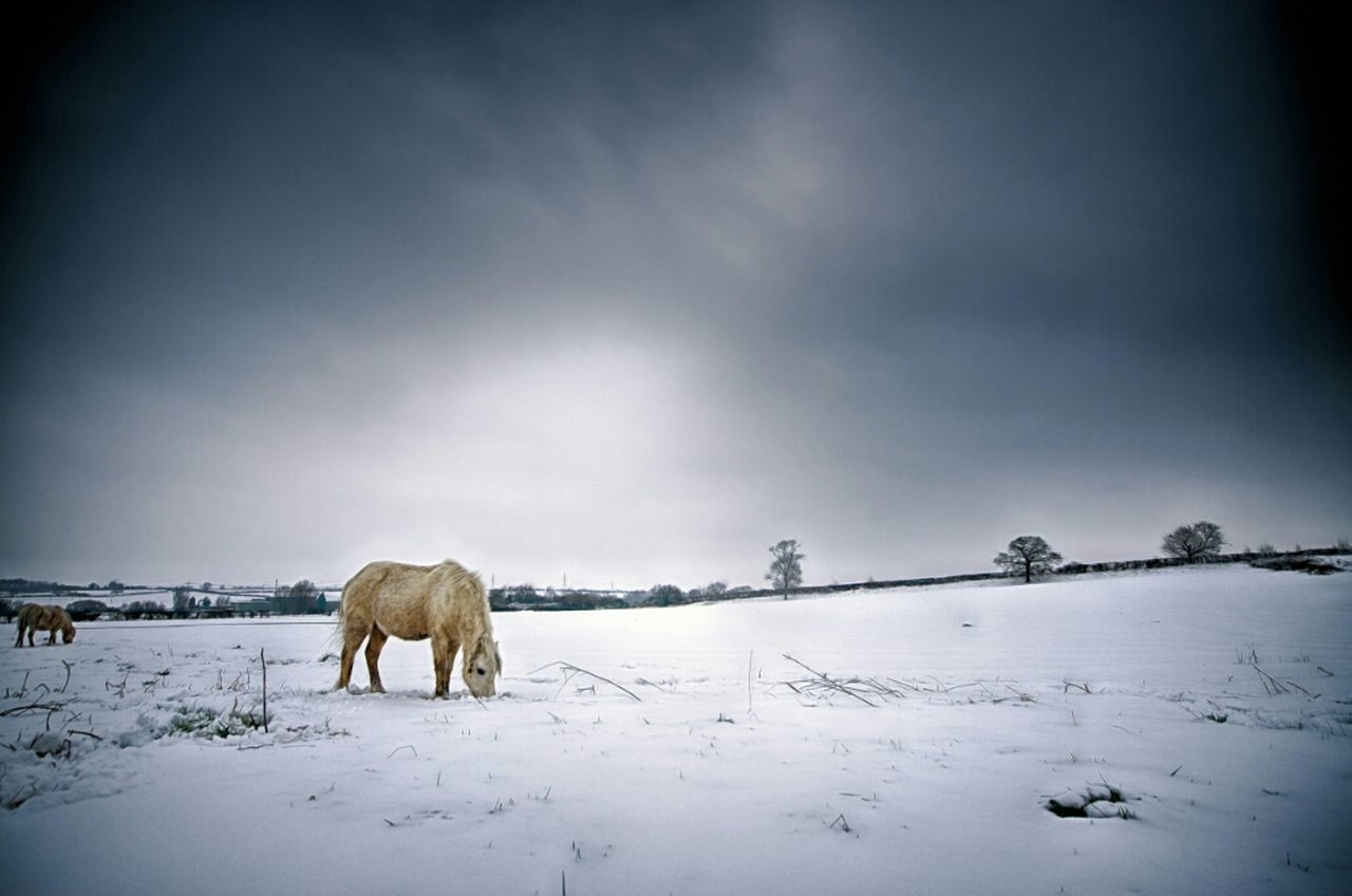 winter, cold temperature, snow, weather, white color, nature, beauty in nature, field, outdoors, one animal, animal themes, mammal, landscape, sky, frozen, standing, no people, scenics, day, domestic animals, full length