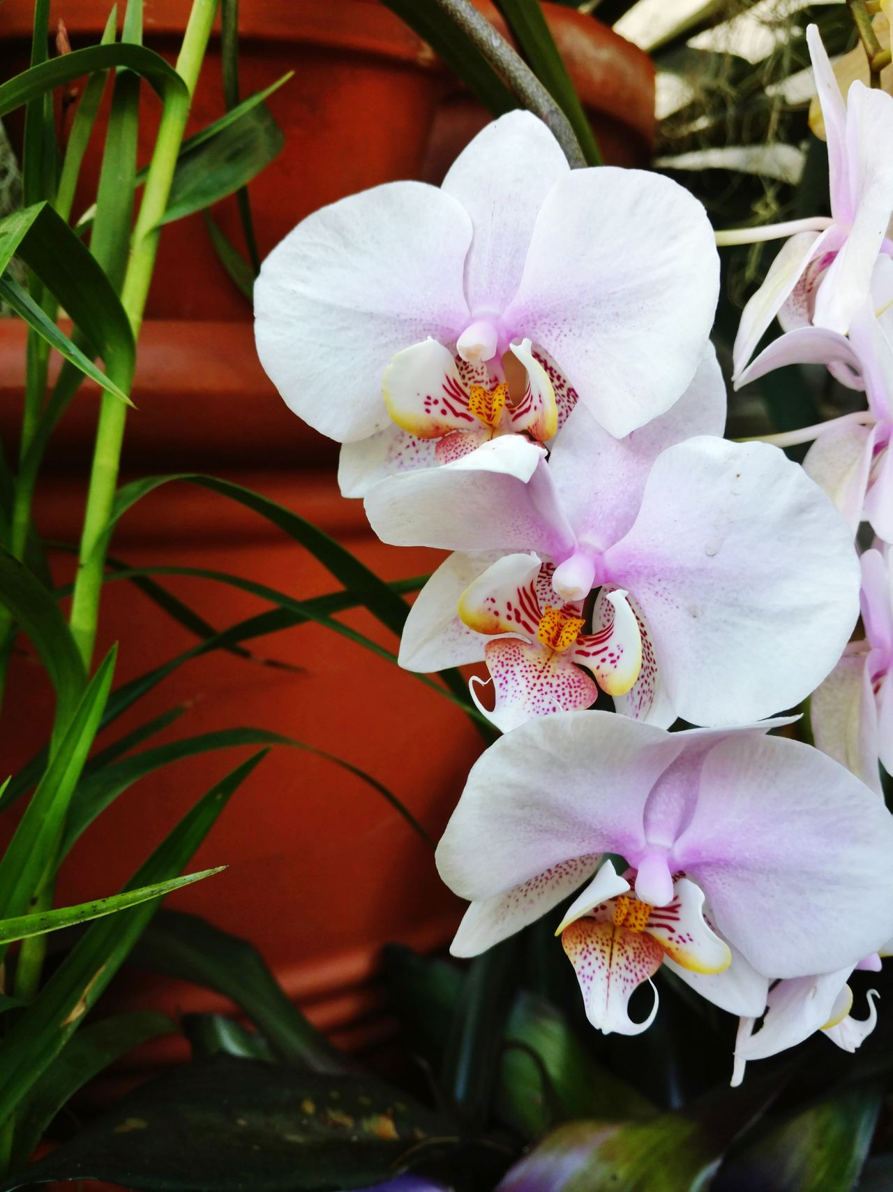 Triple Orchids! Three White Orchids Terracotta Pots Greenery Gorgeous Plants Beauty In Nature Freshness Pure Enjoyment Growth Love Flowers🌷💕 EyeEm Gallery EyeEm Love Flowers 💐 Cell Phone Photography