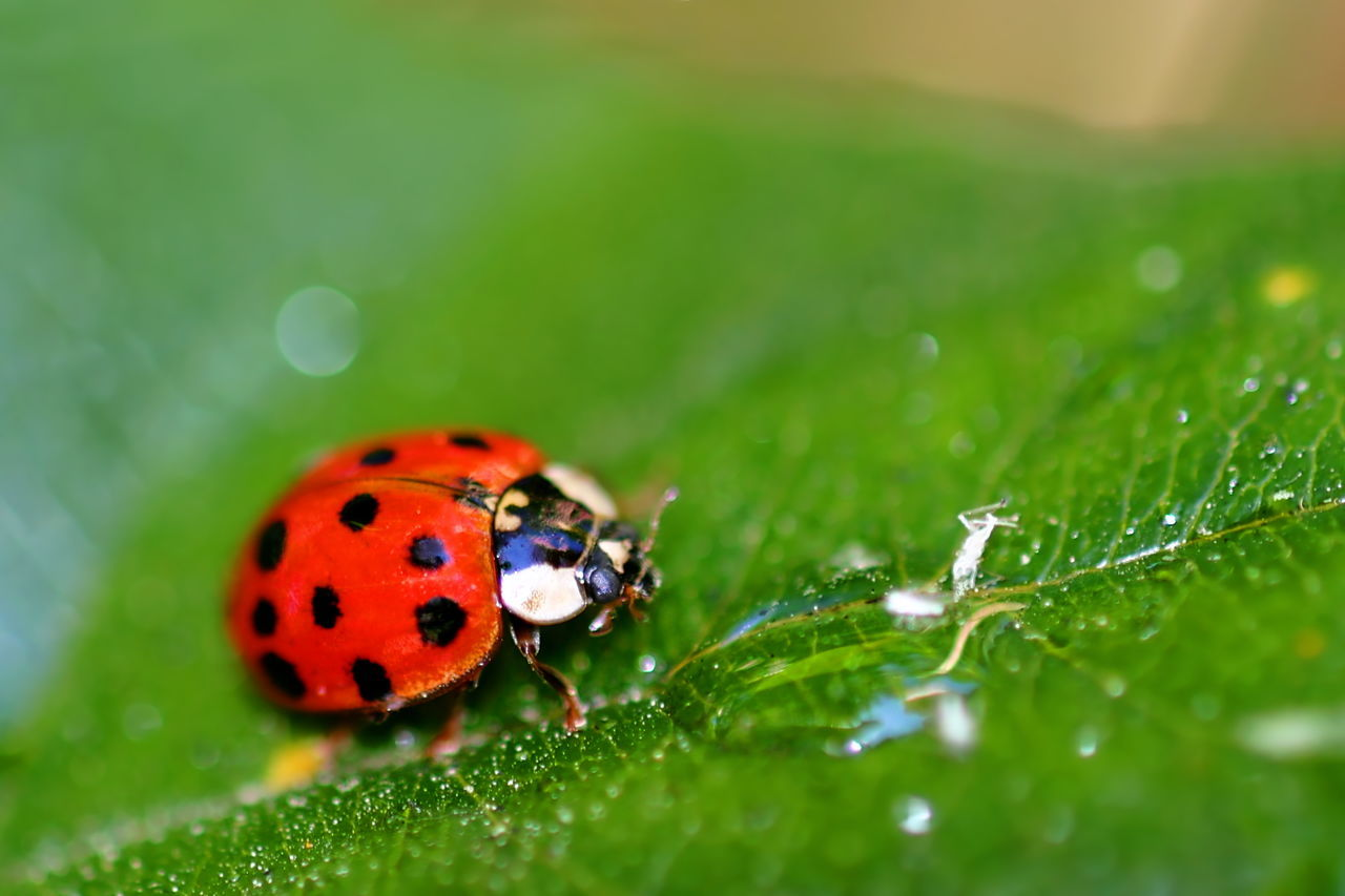 Lady Bug Coccinellids or ladybugs are small insects and are found worldwide with over 5000 species. Animal Background Beetle Beetles Black Bug Close-up Color Conccinellidae Dotted Green Insect Lady Lady Bug Ladybird Ladybirds Ladybug Ladybugs Leaf Macro Nature One Red Water White