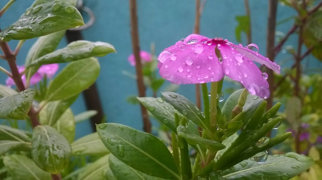 Pink_periwinkle Droplets Of Rain On Leaves Nature Lover Flowers Rain