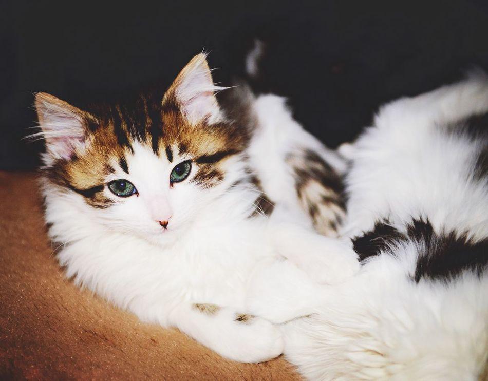 Beautiful stock photos of kitty, Animal Eye, Animal Themes, Cat, Domestic Animals