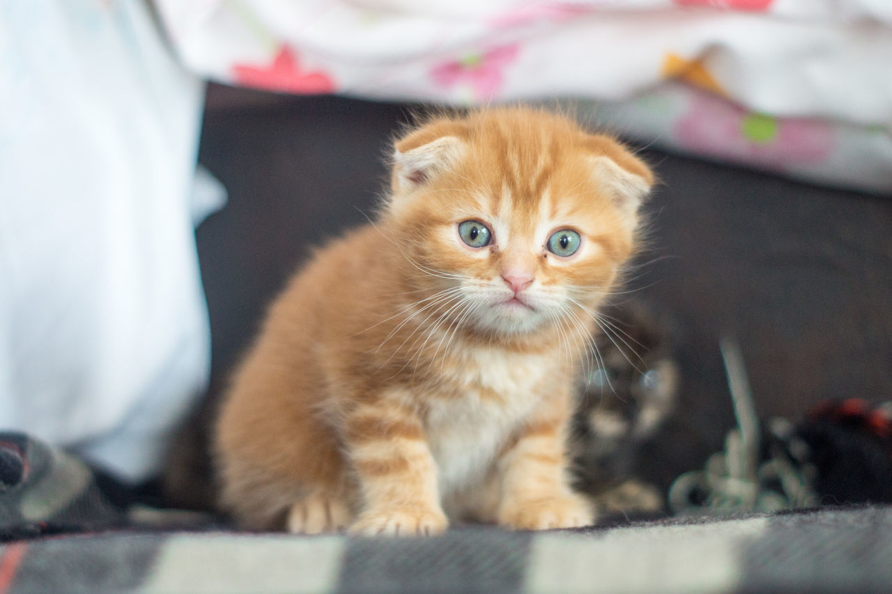 domestic cat, pets, animal themes, mammal, domestic animals, one animal, feline, looking at camera, portrait, indoors, sitting, ginger cat, no people, close-up, day