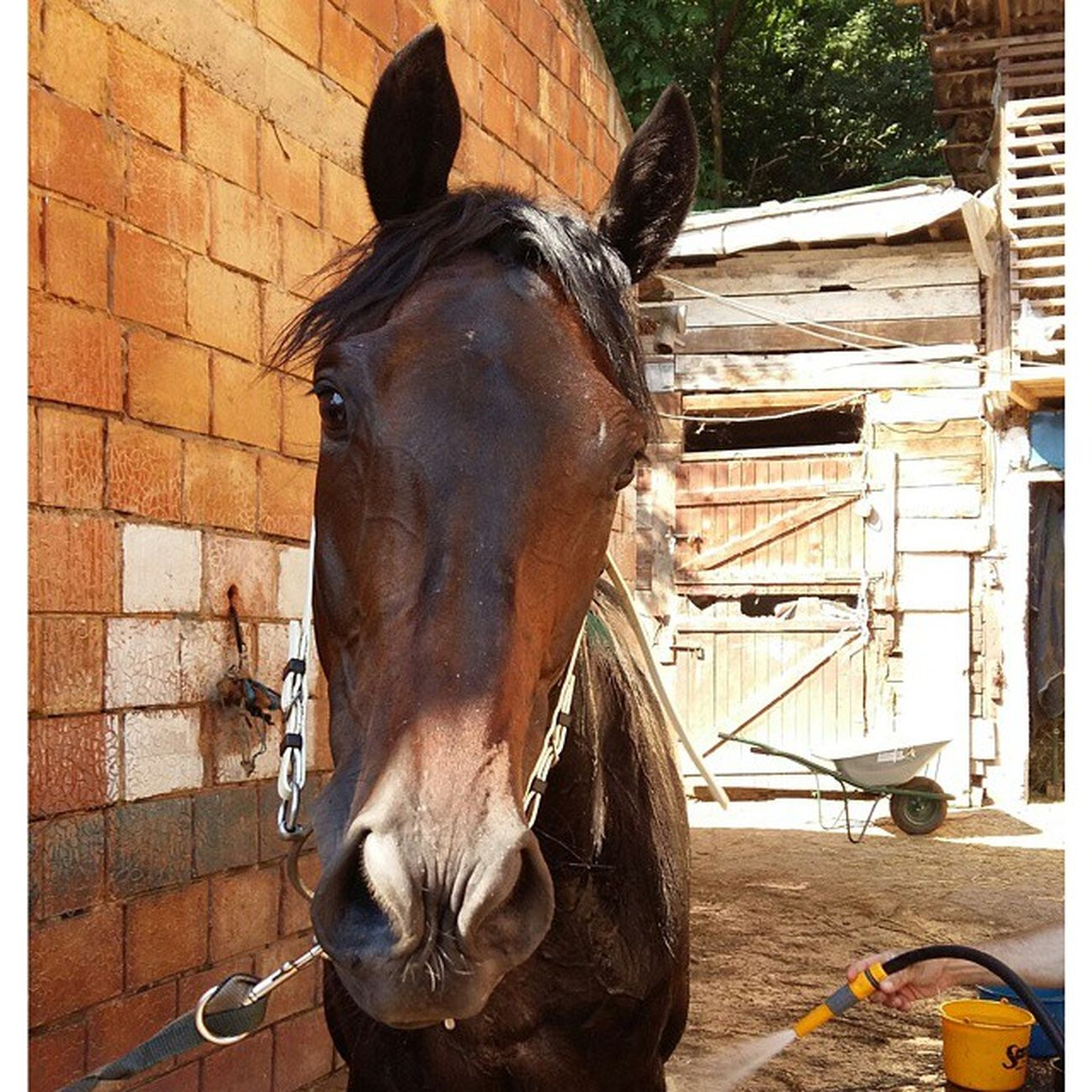 Raskoljnikov Well...Hello!!! 😁 Instagram Thoroughbred Thoroughbredsofinstagram Caballosdeinstagram caballo purasangreinglés equine equitacion equestrian
