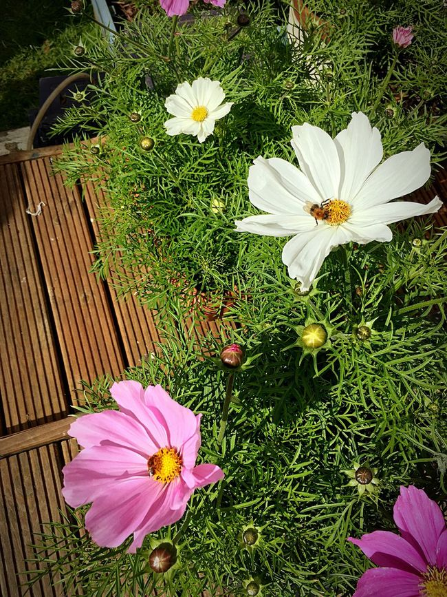 Nature_collection Beeatwork Fragility Flower Flower Head Beauty In Nature Insect Petal Nature Cosmos Flower Freshness Outdoors No People Blooming Close-up Growth Springtime Beauty In Nature Pollen Newbury Uk United Kingdom