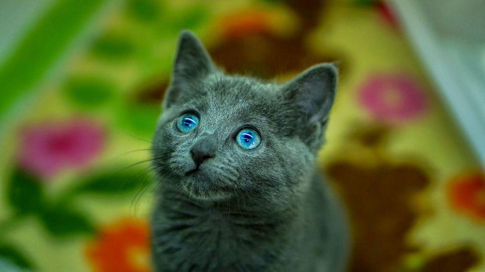 Beautiful stock photos of kitty, Animal Body Part, Animal Head, Animal Themes, Blue Eyes