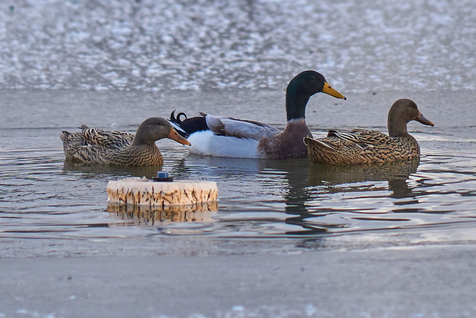 Animal Themes Animal Wildlife Animals In The Wild Bird Day Ducks Lake Nature No People Outdoors Swimming Water