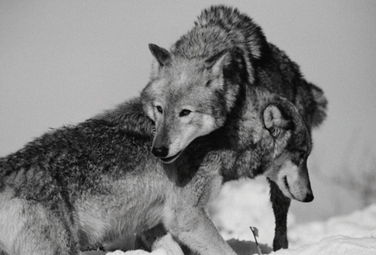 Beautiful stock photos of wolf, Aggression, Animal Themes, Animals In The Wild, Arctic Wolf