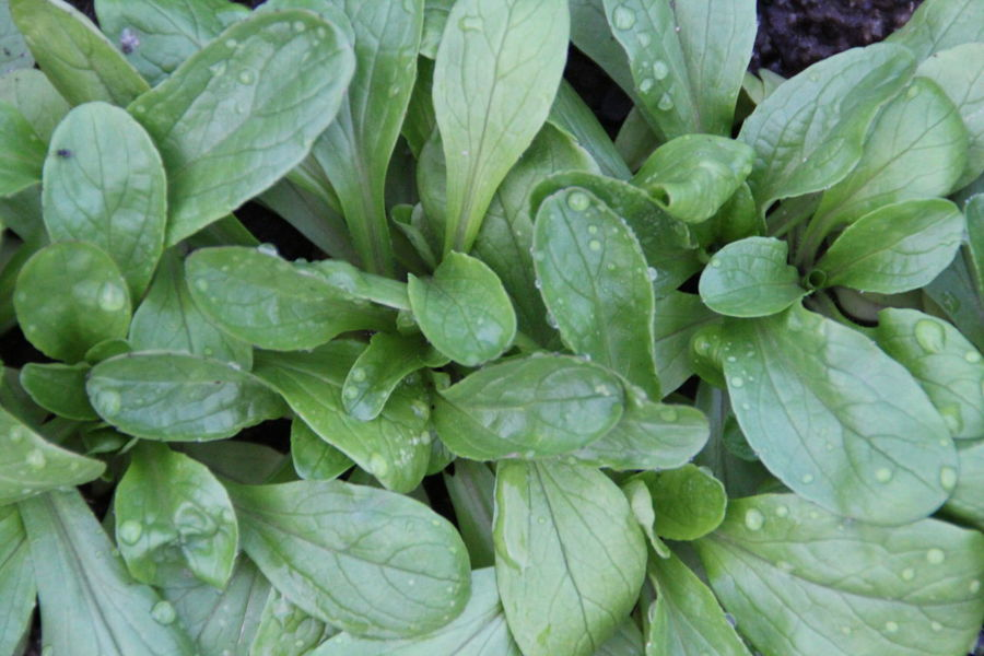Field salad in my Garden Backgrounds Beauty In Nature Close-up Day Feldsalat Field Salad Food Freshness Full Frame Garden Green Color Growth Healthy Healthy Eating Leaf Nature No People Outdoors To Harvest