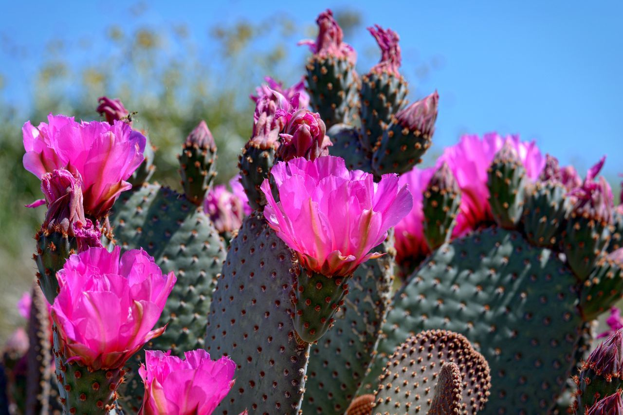 growth, nature, cactus, beauty in nature, flower, fragility, pink color, plant, no people, day, outdoors, focus on foreground, close-up, freshness, sunlight, prickly pear cactus, springtime, flower head, sky