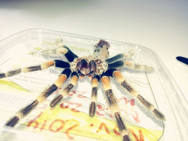 Beißwerkzeug nach der Häutung Spinne Marie - Brachypelma Smithi Vogelspinne Tarantula Brachypelma