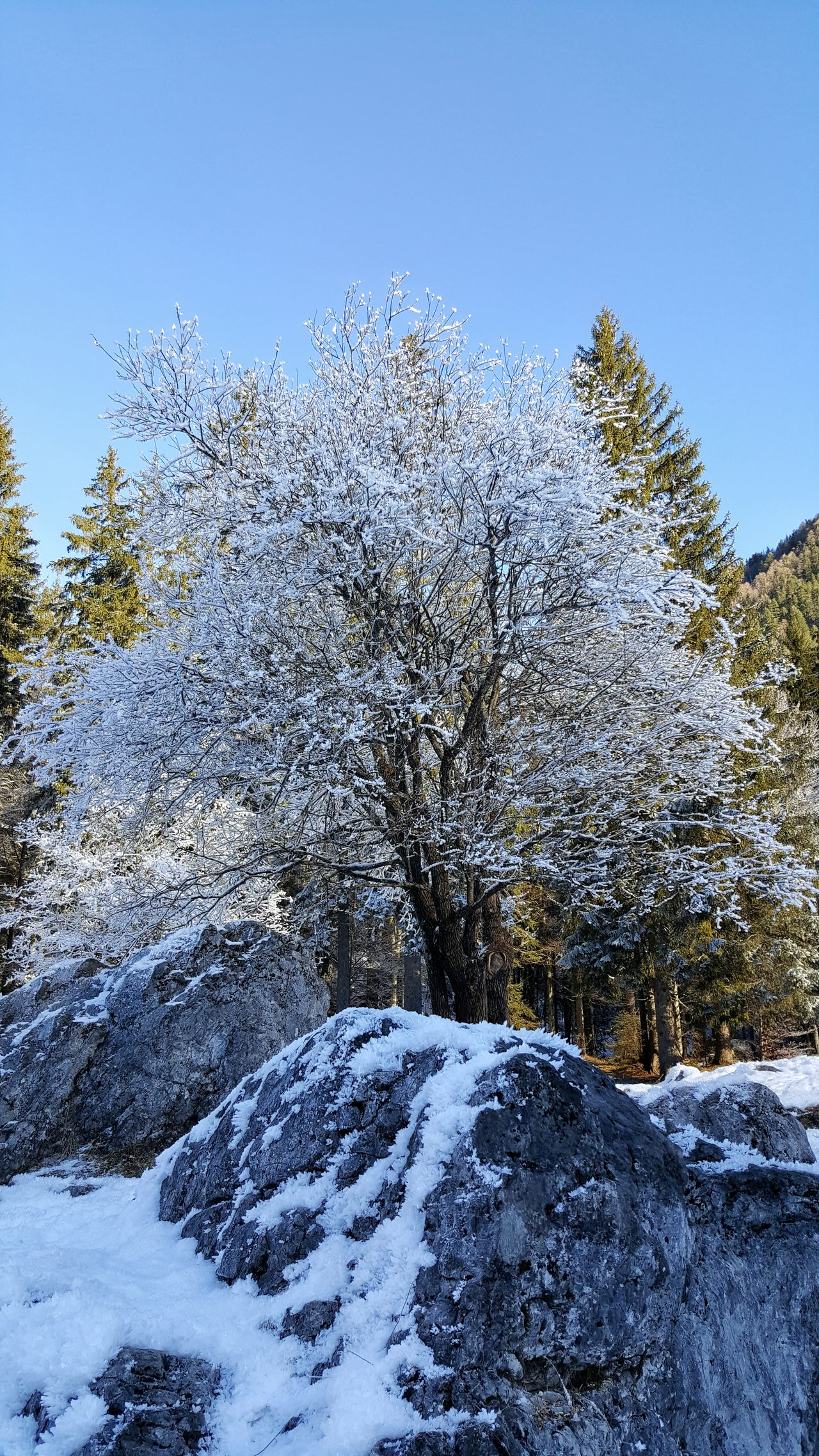 Tree Tranquility Tranquil Scene Trees Magical Trees Snow Snowcapped White Green Blue Grey No People Nature Winter Cold Cold Temperature Sky Clear Sky Mountains Woods Outdoors Friuli Venezia Giulia Branches Ice It's Cold Outside