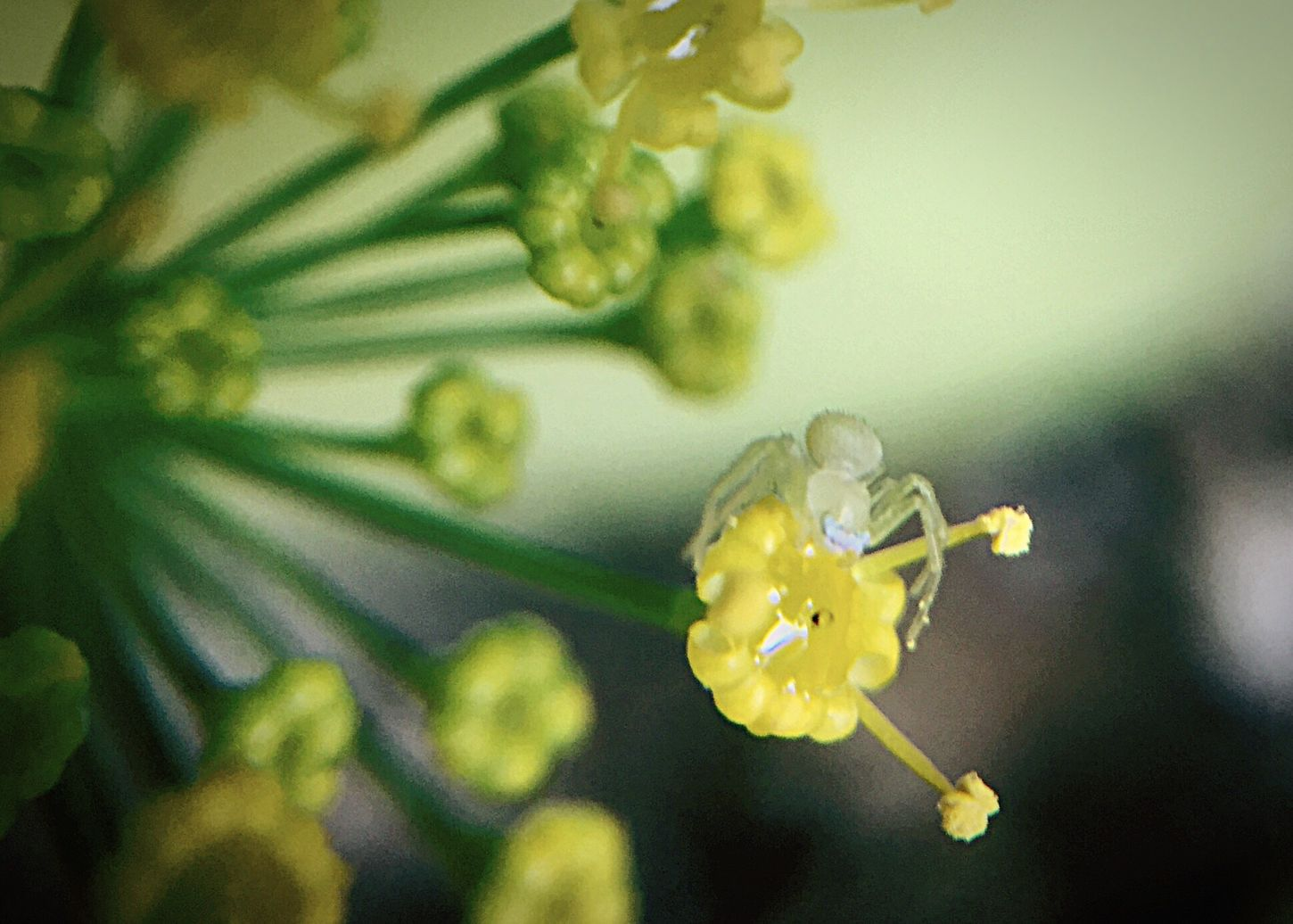Flower Of Dill Plant Very Small Timy See Through Spider Albino?