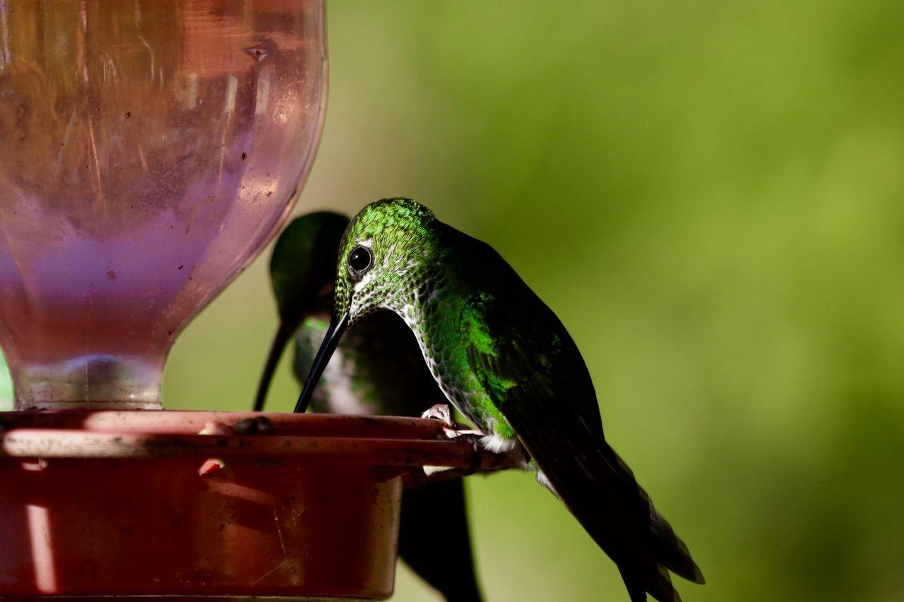 Animal Themes Animal Wildlife Animals In The Wild Bird Close-up Day Hummingbird Nature No People One Animal Outdoors Perching