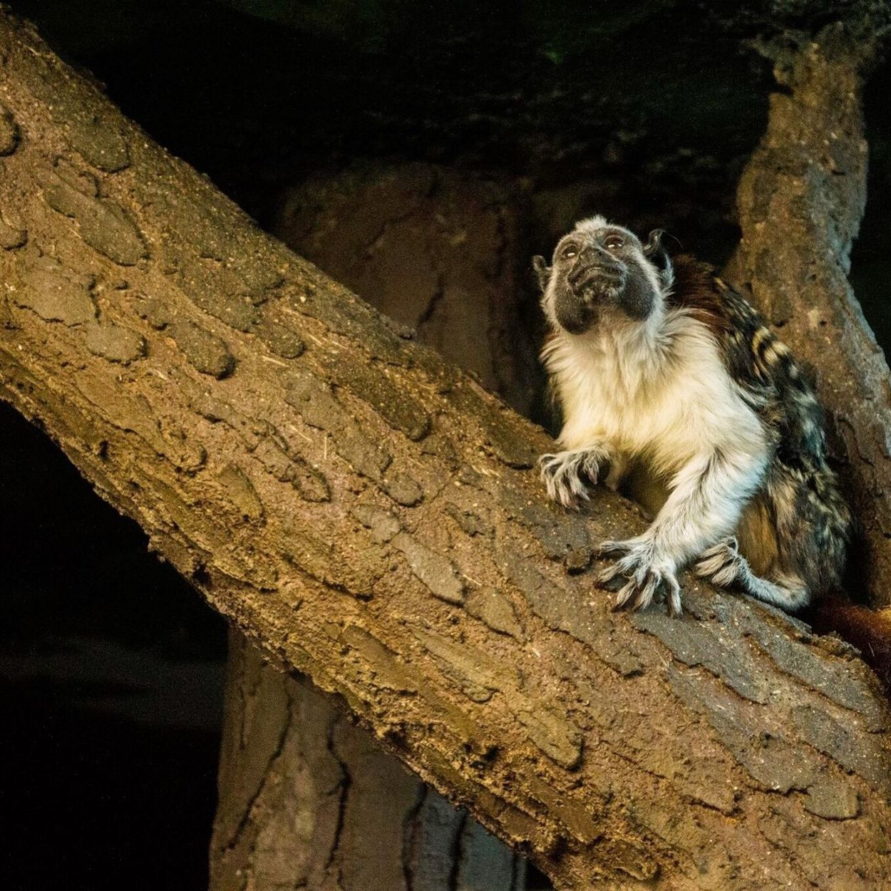 Zoo Arizona Animal Photography Primeape Monkey