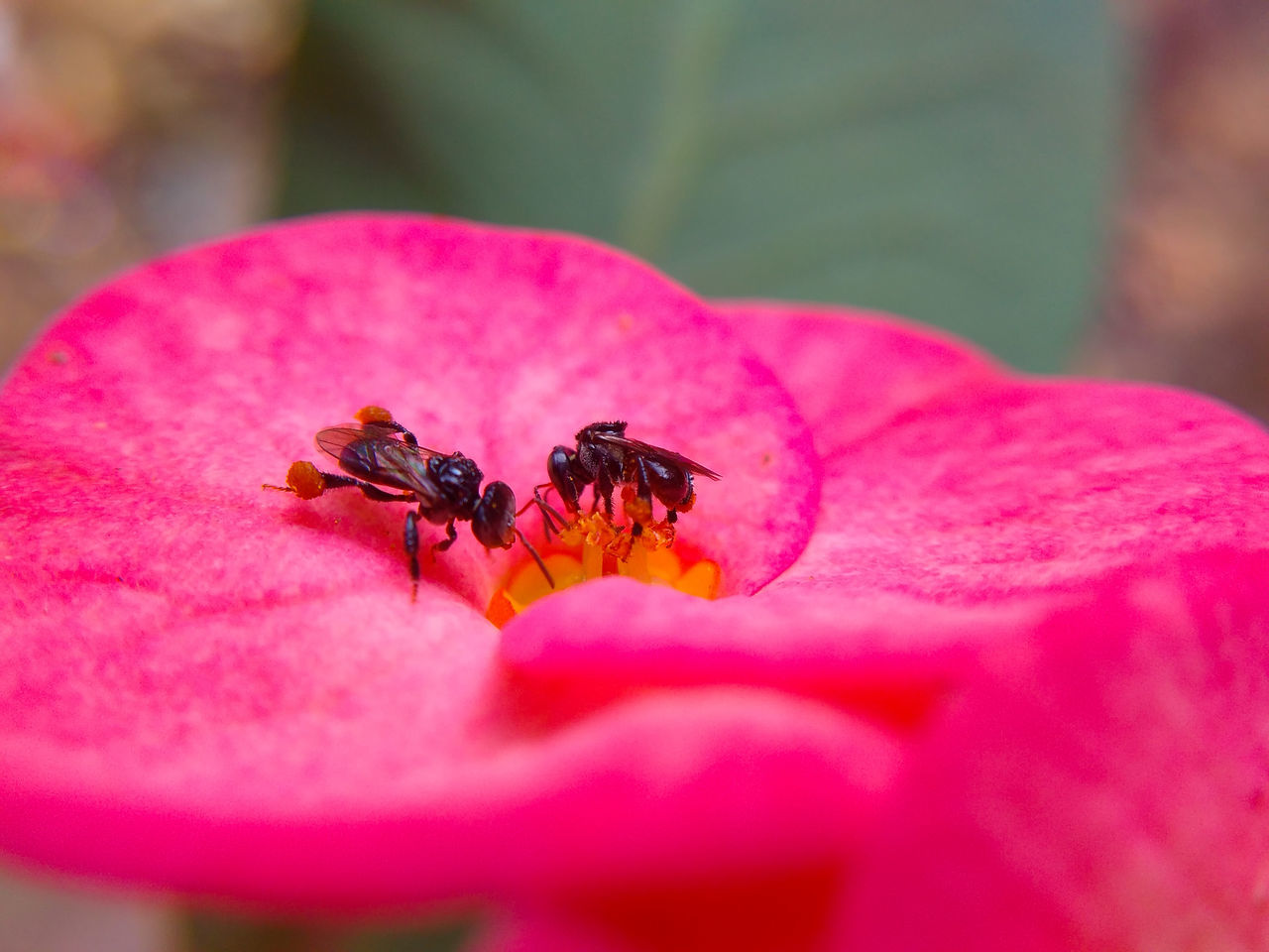 Macro Stingless Bee Insects  Flower Pink Color Bee Close-up Day Plant Pollination Pollen