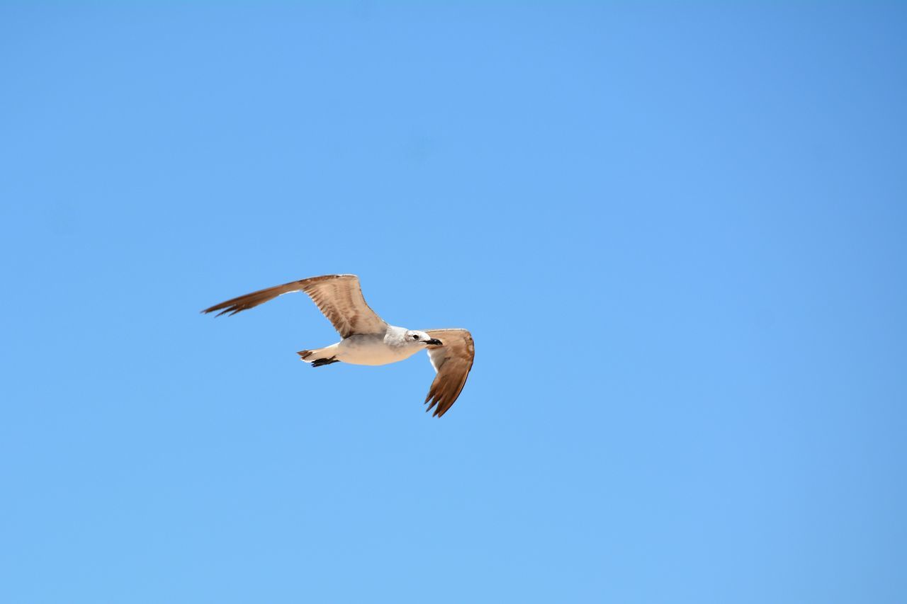 flying, bird, spread wings, animals in the wild, animal themes, one animal, copy space, animal wildlife, low angle view, mid-air, nature, day, no people, clear sky, motion, blue, outdoors, seagull, beauty in nature, bird of prey, sky