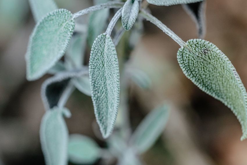 Growth Nature Plant Green Color Leaf Close-up No People Beauty In Nature Day Outdoors Freshness Zeiss60mm Tenebrio.photos Fuji-xe2s Showcase: December Sage Salbei