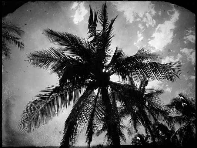 Monochrome Photography Palm Tree Sky Tropical Climate Growth Tree Low Angle View No People Cloud - Sky Day Palm Frond Tranquility Silhouette Outdoors Frond