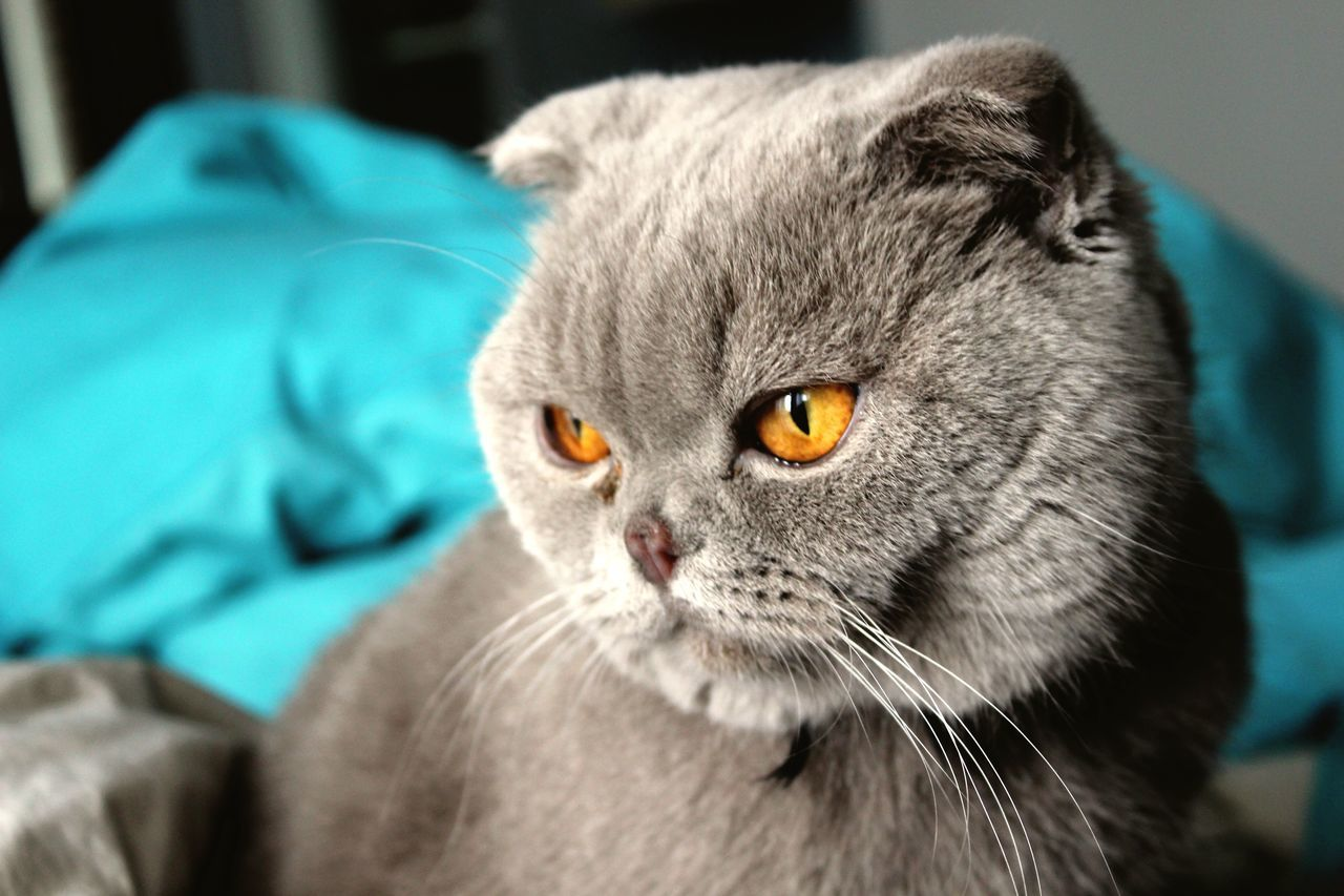 One Animal Domestic Cat Animal Themes Mammal Pets Domestic Animals Feline Close-up Indoors  Whisker Focus On Foreground Portrait No People Day Scottishfold EyeEmNewHere Break The Mold BYOPaper! BYOPaper!