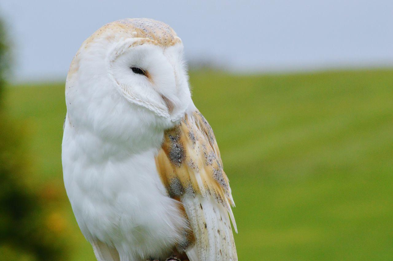 Barn Owl Owls Bird Photography Birdwatching EyeEm Birds Hunter Birds Of Prey Falconry Wildlife Photography EyeEm Best Shots