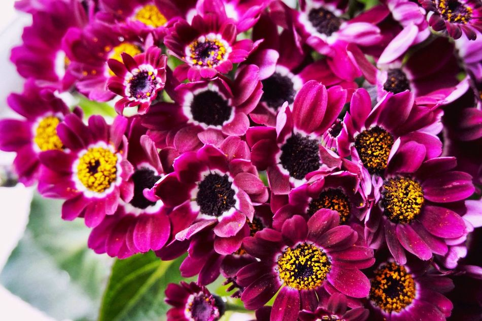 Flowers again)))) My Secret Garden Beautiful Delicate Petals Exceptional Photographs Eyemphotography EyeEm Gallery Flowers :) Spring Cineraria Hello World Good Evening Flowers For My Friends Eye4photography  Flower Flower Collection My Flower Obsession From Russia With Love