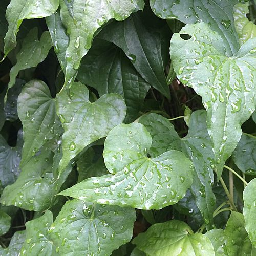 Rainy leaves Rain Rainy Day Leaf Leaves Botanical Gardens Garden Nature Peace Trees Green