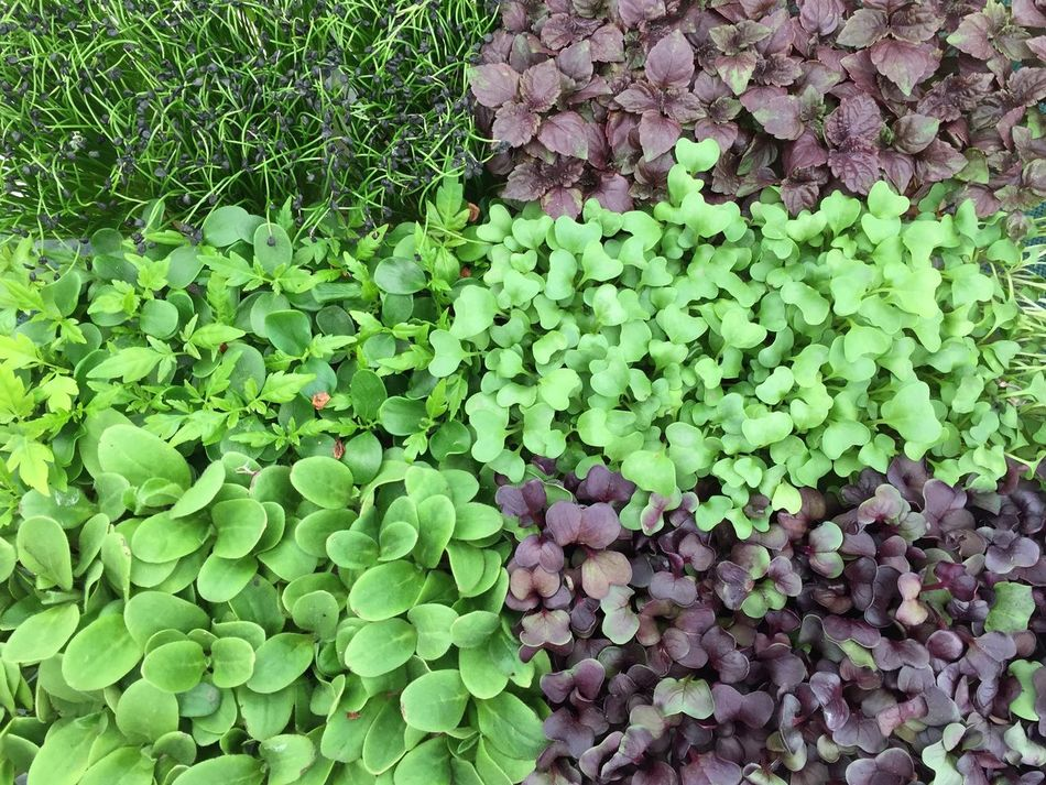 Lovely fresh herbs 🌿 Green Color Freshness Growth Leaf Healthy Eating Nature Food Backgrounds No People Outdoors Plant Beauty In Nature Day Close-up Herbs Superfood Mixofherbs Green Color Symmetry In Nature Rawfood