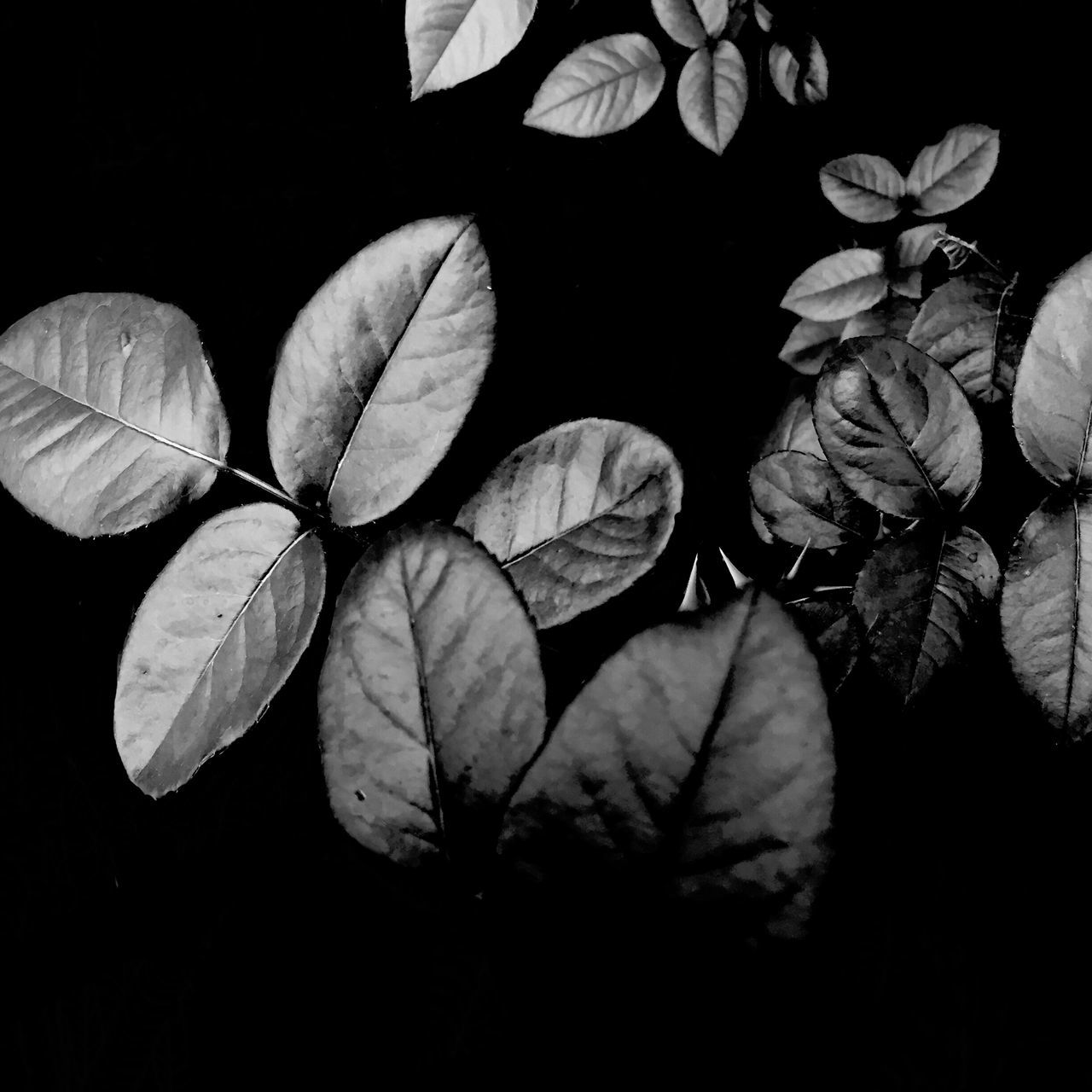 night, leaf, close-up, no people, nature, growth, beauty in nature, plant, outdoors, flower, black background, freshness