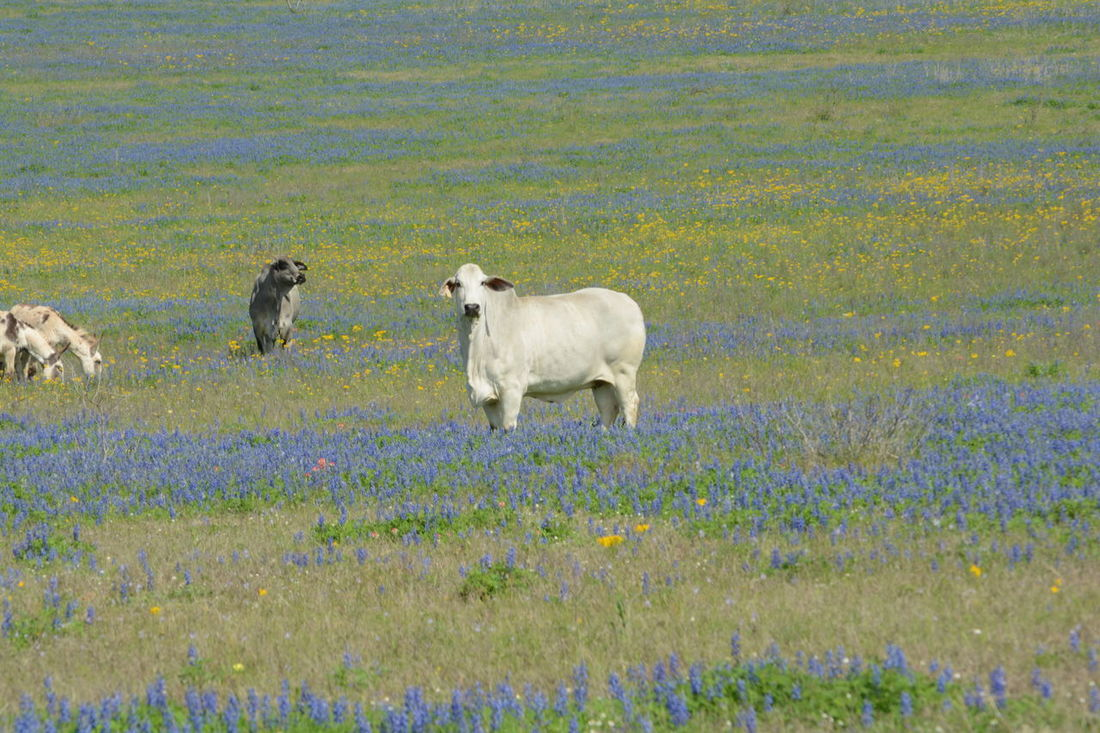 Beauty In Nature Cows Day Field Grass Growth Indian Paintbrush Flower Landscape Nature No People Outdoors Rural Scene Texas Bluebonnets Tranquility