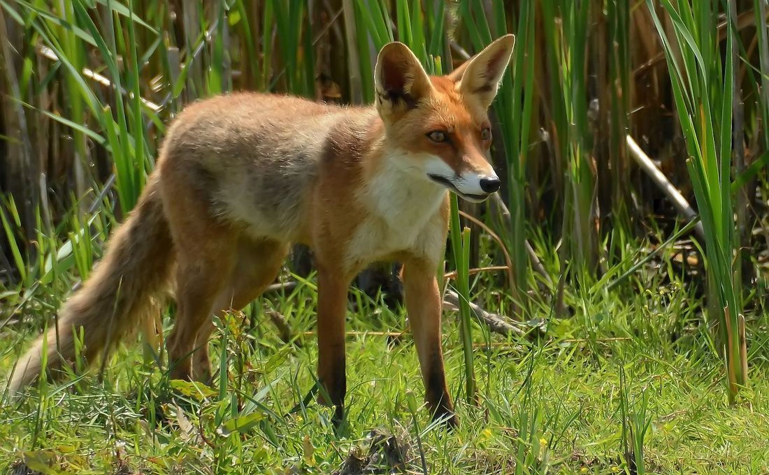 Oostvaardersplassen vos Fox Nature Wildlife Oostvaardersplassen Concentration